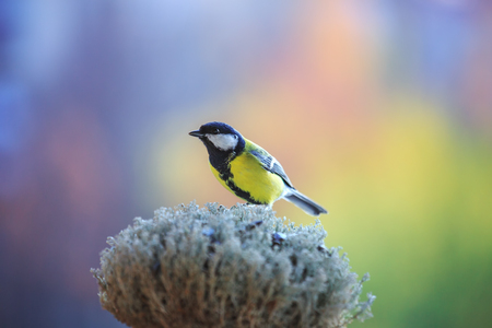 Tomtit sitting on the feeder. Bird on bright blurred background. Caring for birds in winter. Studio.