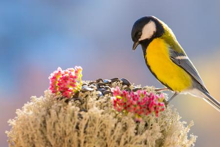 シジュウカラは、カラフルな背景をぼかした写真の背景の鳥の餌箱に座っています。鳥と美しい明るい絵。冬の鳥を気遣うこと。スタジオ写真。 写真素材