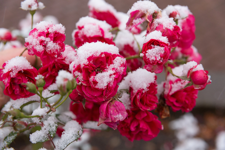 Floribunda roses in the snow. The beautiful pink flowers lying before the fallen snow. It is snowing and strong wind.