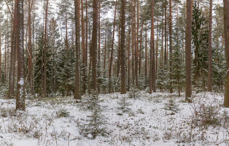 Panorama of snow covered trees in the winter forest. Winter forest. Pine and spruce under the snow. Belarus.