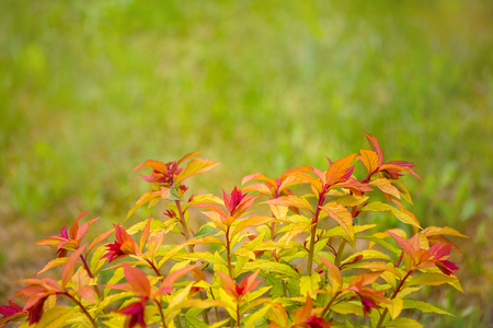 Spring yellow-red leaves natural background. Shrubs are used in landscape design for landscaping. Shallow depth of field, there is room for text. Stock Photo