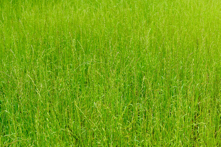 Background of green grass, texture. Green lawn. Evenly grass grows on the field