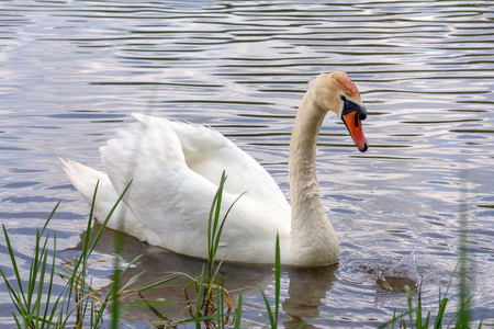 White Swan with reflection in the water near the shore. A beautiful white mute Swan (Cygnus olor) floats on the lake, he bowed his head. Waterfowl. Stock Photo