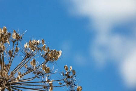 Hogweed. Umbrella plant. Graphically against the sky. dried hogweed stalk with seeds of umbrella species against the background of blue sky.