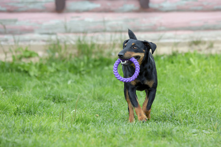 Beautiful cheerful young German hunting terrier dog stunt fly jump and run mad. Low angle high speed shot. A medium-height, black-brown dog runs outdoors. Dog carrying teeth ring Stock Photo