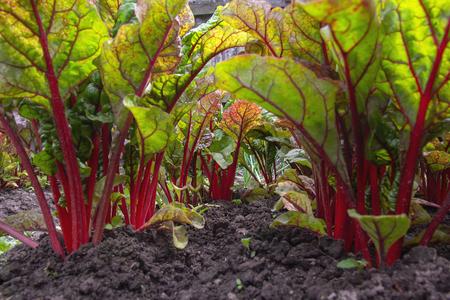 Handige grote jonge sappige slabieten Mangold voor gezond eten in de tuin. Close-upfotografie, selectieve focus Stockfoto