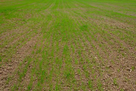 weak, poorly overwintered green shoots of wheat on the farm field in the spring. agricultural background. Field with winter wheat in early spring. Rows of green shoots, going to the horizon.
