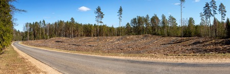 Panorama. The state of the forest after cutting down trees and clearing it of debris. Its deforestation. Ship pine on the site. Harvesting of wood in the coniferous forest. Belarus Stock Photo