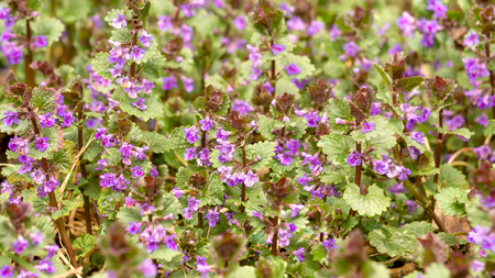 Blooms Boudreau hederacea Glechoma hederacea . Floral background is from the flowers of medicinal plants, Boudreau hederacea. Purple small flowers are on a green background. Stock Photo