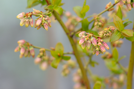 Blueberry branch, which is in the stage of budding. There is a flowering branch of large blueberries. Pink buds blueberries are on a green background. selective focus