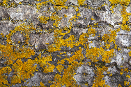 The structure of the bark of an old huge tree. The texture of birch bark, overgrown with moss and lichen. Beautiful yellow - olive natural wood background to fill a web page or graphic design. Stock Photo