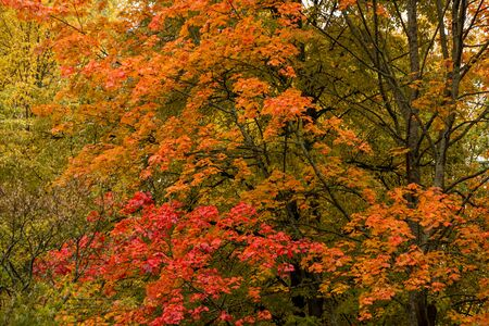 There are beautiful huge bright red and yellow trees in autumn. The autumn background is presented as a fragment of the crowns of trees in the Golden autumn. Selective focus, horizontal positioning.