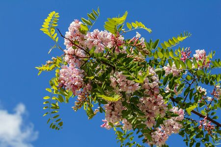 there is a beautiful flowering pink acacia, Robinia. Delicate large fragrant lilac flowers against the blue sky. Natural natural flower background Stok Fotoğraf