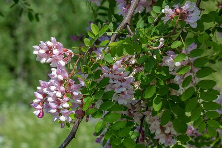 there is a beautiful flowering pink acacia, Robinia. Delicate large fragrant lilac flowers. Natural natural floral background.