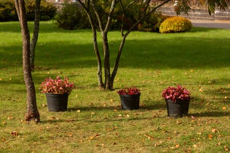 There are standing pots with flowering begonias in the Park area. Autumn Park, fragment. Landscape design. Fallen leaves, blooming flowers. The concept of the coming autumn, the change of season. Фото со стока
