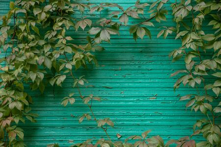 There is a beautiful autumn or summer natural background: part of the turquoise painted wooden wall is framed, consisting of branches and leaves of wild grapes. Blur, selective focus, copy space. Stok Fotoğraf