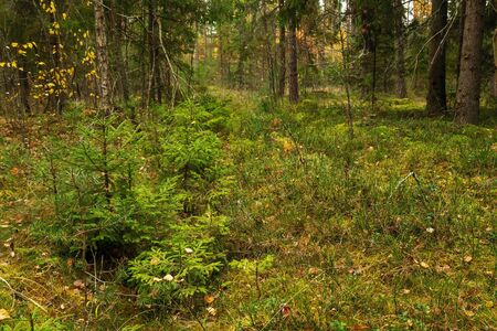 There are several small green trees growing in a clearing in the autumn forest. Autumn forest landscape in the middle lane. Stok Fotoğraf