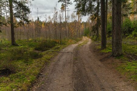 There is a sandy road leading through the forest. Forest landscape. Mixed forest in which spruce, pine, birch grow. The forest is self-healing after cutting down trees.