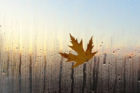 A yellow maple leaf stuck to the wet glass. Autumn background with maple leaf on wet window and beautiful evening light.