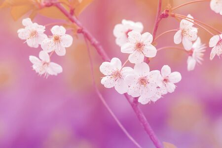 There is a beautiful snow-white blossoming cherry branch on a blurred background. Pink-tinted photo of cherry blossoms. Shooting with wide open aperture outdoors. Stok Fotoğraf