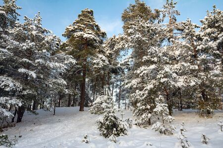 there are beautiful snow-covered pines on the mountain. there is a winter snow-covered forest after snowfall in Sunny weather. fluffy snow on the branches of trees.