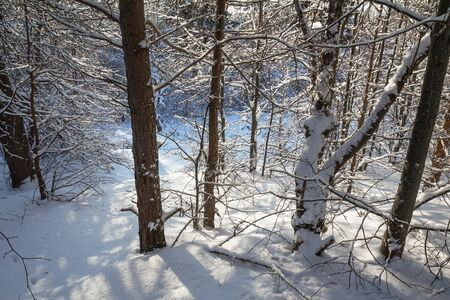 beautiful snow-covered pines. contoured sunlight and long shadows. there is a winter snow-covered forest after snowfall in Sunny weather. Stok Fotoğraf