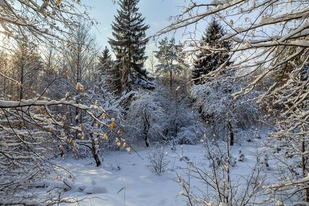 There is a beautiful winter snowy forest against a blue sky. Fresh snow fell, the trees have bizarre shapes. Frosty weather, evening. Belarusian nature.
