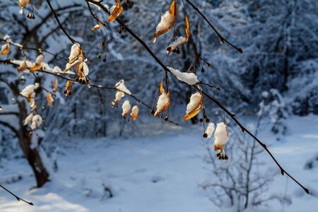 Beautiful winter orange-blue background. Snow-covered branches of lime trees with orange fruits on a snowy blue background in a contour sunlight. the state of the weather after a snowfall. Stok Fotoğraf