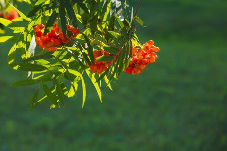 Beautiful orange-green background. There are clusters of red mountain ash on a green blurred background with backlight. bright background with Rowan berries.