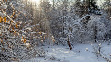 There is a fragment of a beautiful winter snow-covered snow forest: a small glade with Apple trees growing on it. There is fresh snow, the trees have strange shapes. Frost, night, a ray of sunshine. Stok Fotoğraf
