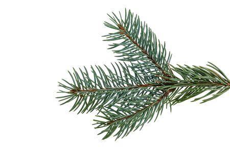 a natural sprig of blue spruce isolated on a white background. Suitable for collage, banner making and any New Year and Christmas design.