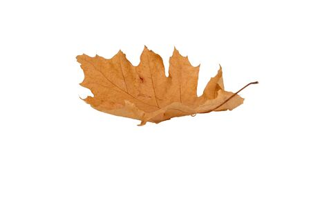 a natural yellow autumn falling oak leaf isolated on a white background. Suitable for collage, banner creation and any design.