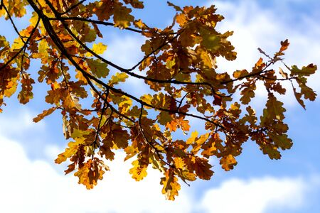 a branch of an oak with yellow leaves against a blue sky. Autumn background. Contour light. Copy space.