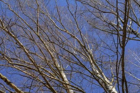 The crowns of the birch trees on blue sky background in early spring. Low viewing angle. A clear Sunny day in a birch grove.