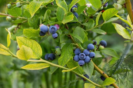 Large-fruited ripe blueberries are ready for collection, close-up. Fresh organic blueberries on the Bush. Bright colours. 스톡 콘텐츠