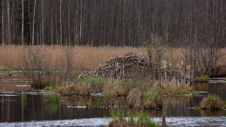 Beaver lodge in swamp near forest. beaver house, hut, lodge