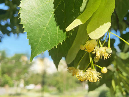 Linden tree blossom in the spring in city, closeup