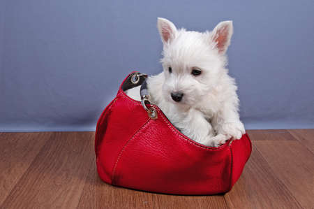 funny white west highland terrier dogs puppy sit in basket indoor, dog breeding business concept