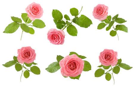 Beautiful Rose set isolated on white background Stock Photo