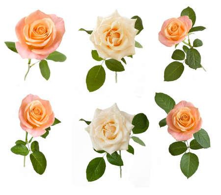 Beautiful Rose set isolated on white background