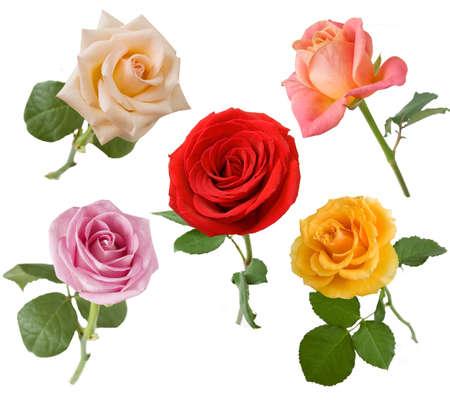 Beautiful Rose set isolated on white background Standard-Bild