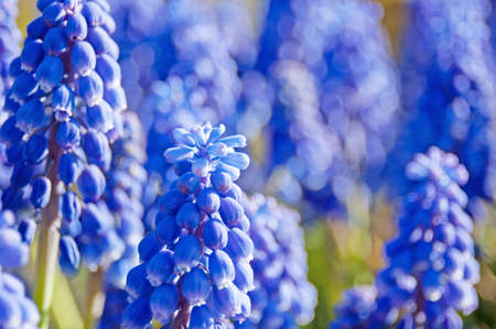 flower mouse (Muscari) hyacinth in spring. Selective focus