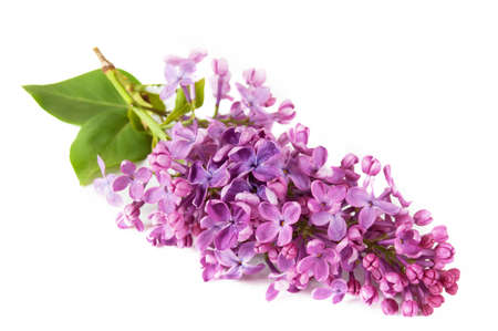 Beautiful lilac isolated on white background, closeup