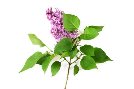 Beautiful lilac branch isolated on white background, closeup