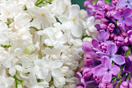 Beautiful white and violet lilac background, closeup
