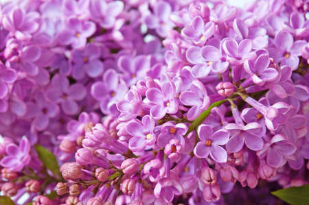 Beautiful violet lilac background Stock Photo