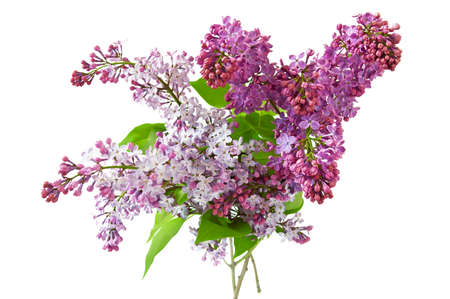 Beautiful lilac flowers bunch isolated on white background