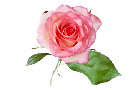 Beautiful pink rose on white background, closeup