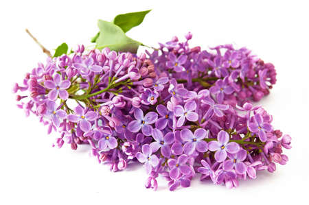 Beautiful violet lilac flowers isolated on white background, closeup