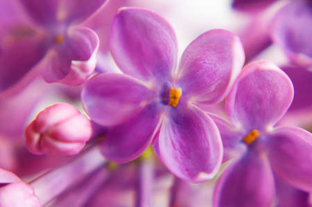 Beautiful violet lilac flowers background, closeup Stock Photo